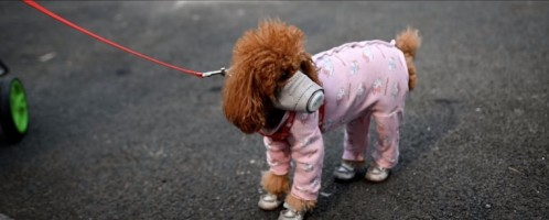 Even dogs going on a walk wear masks!